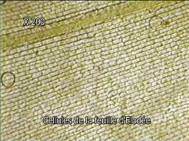 cellule buccale taille